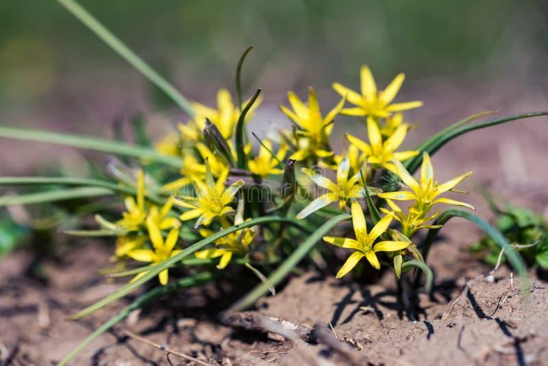 Slut upp unga gula Gagea blommor i blomsterrabatt arkivbilder