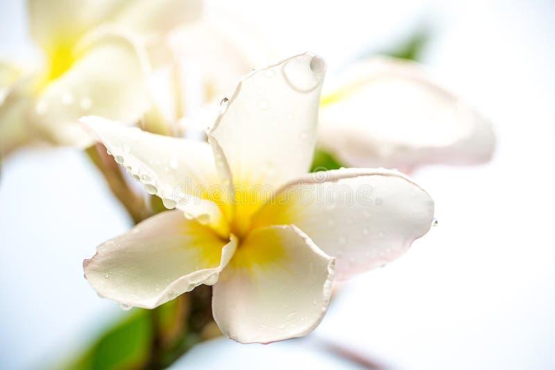 Slut upp vit frangipaniblomma- och daggdroppe på träd Bild för bakgrund arkivbild