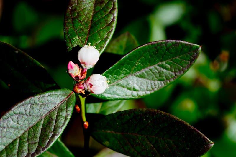 Slutet av blomman blomstrar upp på blåbärbusken royaltyfria bilder