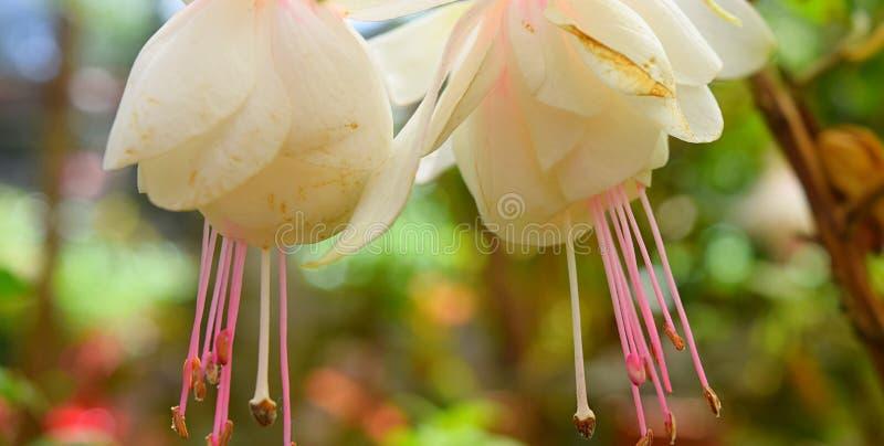 Slutet av den Hawkshead för två vit fuchsian blommar upp att hänga som är uppochnervänt arkivfoton