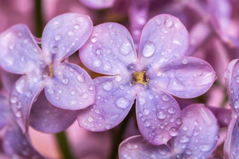 Slutet av en filial av lilan med vatten tappar upp Makro av en purpurfärgad vårblomma arkivbilder