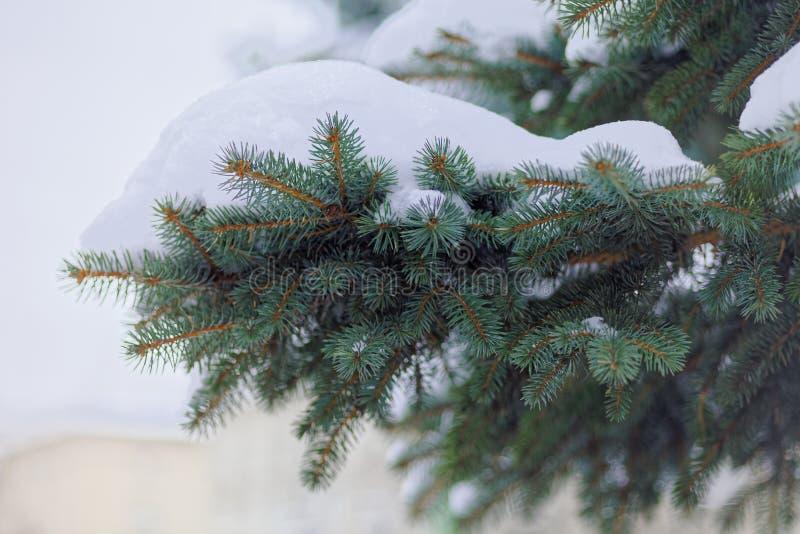 Slutet av en pruce förgrena sig upp under locket av snö arkivfoto