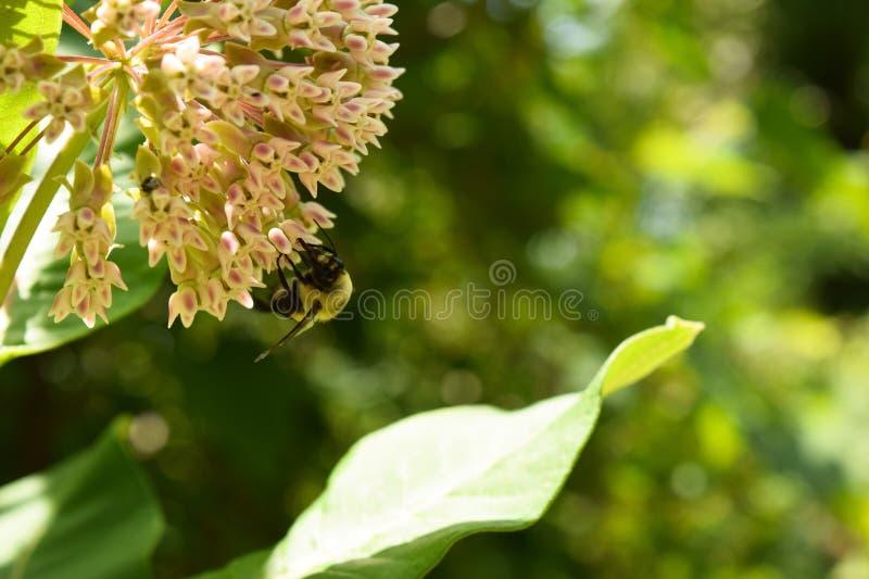 Slutet av ett stapplabi på milkweed blommar upp arkivbild