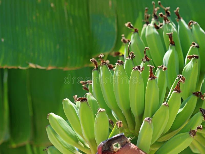 Slutet av grönt knäpp omoget växer upp på bananträd royaltyfri foto