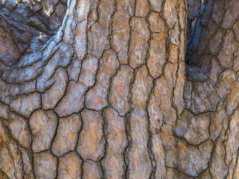 Slutet av japansk svart sörjer upp trädstammen och lemmar royaltyfri bild