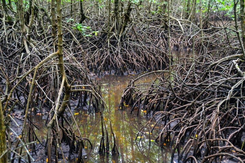 Slutet av mangroven rotar upp royaltyfria bilder