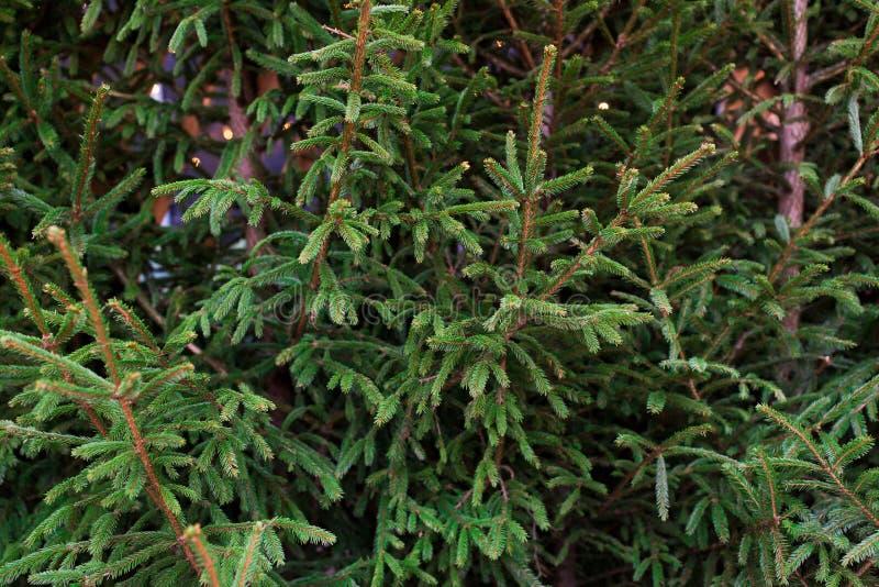 Slutet av naturliga granträd på jul marknadsför upp royaltyfri foto