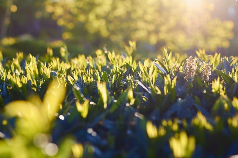 Slutet av ny gräsplan lämnar upp upplyst vid solljus royaltyfria foton