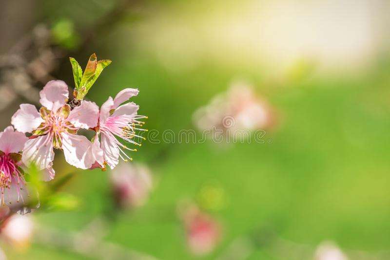 Slutet av rosa färger blomstrar upp Cherry Tree Branch, Sakura Flowers fotografering för bildbyråer