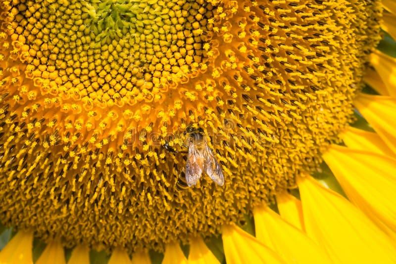 Slutet av stapplar upp biet på solrosen arkivbilder