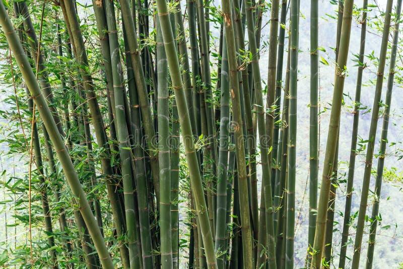 Slutet bor upp bambu i morgonen i sommar på Cat Cat Village i Sa-PA, Vietnam arkivbild