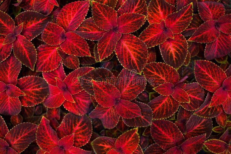 Slutet för bakgrund för röda och svarta sidor för Coleusmörker - målade det dekorativa upp, nässlablomningväxten, burgundy lövver arkivbilder