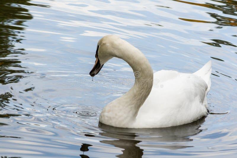 Slutet för svandrinkvatten upp royaltyfri fotografi