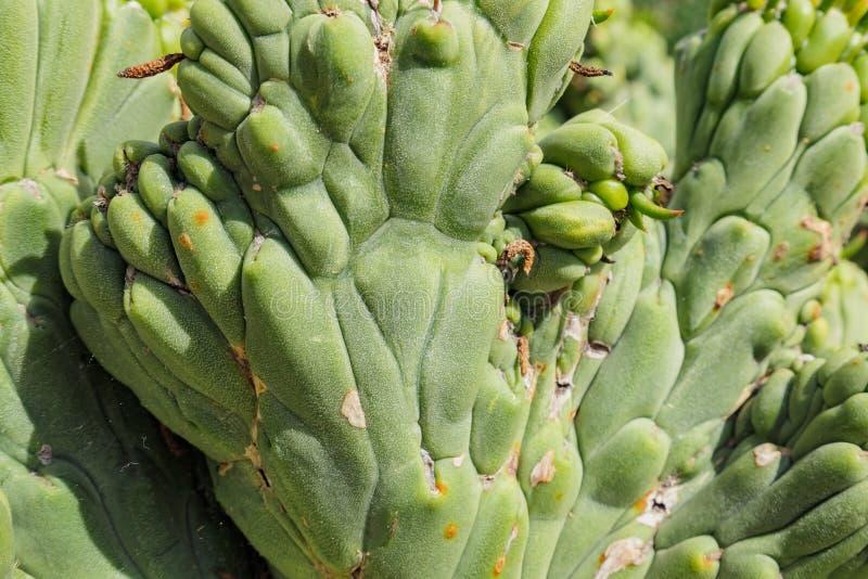Slutet sköt upp av en kaktus arkivbilder