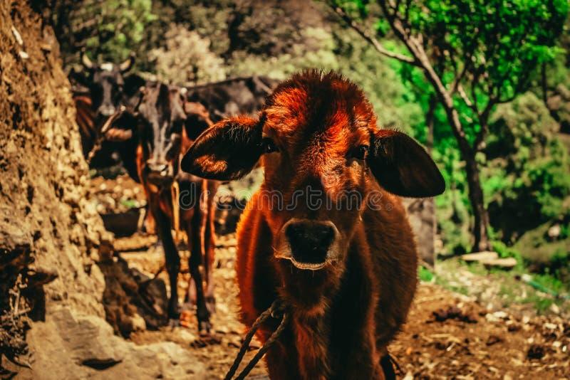 Slutet sköt upp av en ko i bergen av Sunkiya i Indien royaltyfri bild
