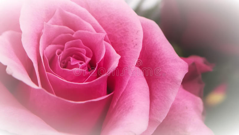 Slutet sköt upp av en ros arkivfoton