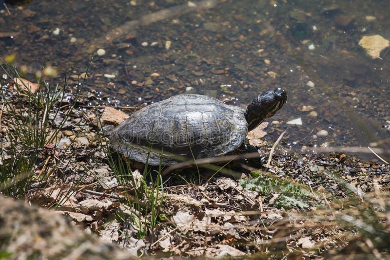 Slutet sköt upp av en sköldpadda bredvid vatten i solen arkivbild