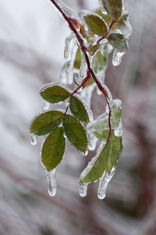Slutet sköt upp av en trädfilial med gröna blad som täcktes med is efter storm för frysa regn fotografering för bildbyråer