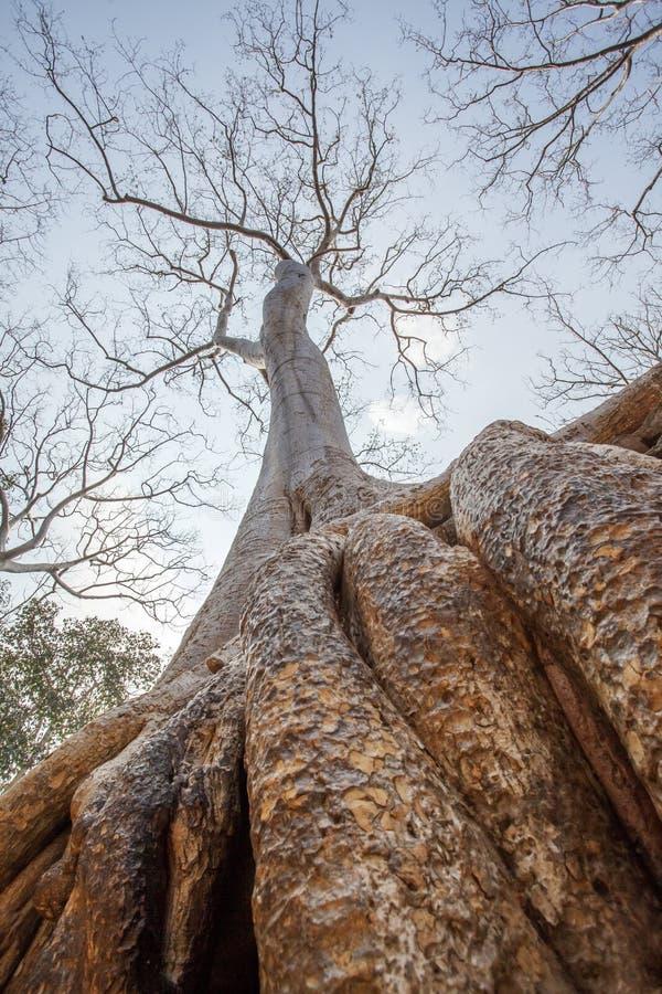 Slutet upp århundrade-gammalt träd rotar i templet för Ta Prohm, Angkor Thom, Siem Reap, Cambodja royaltyfri bild