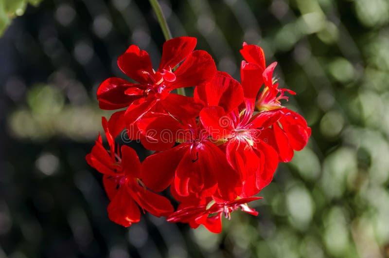 Slutet upp att blomma den röda pelargonkaskaden blommar i fatta royaltyfri bild