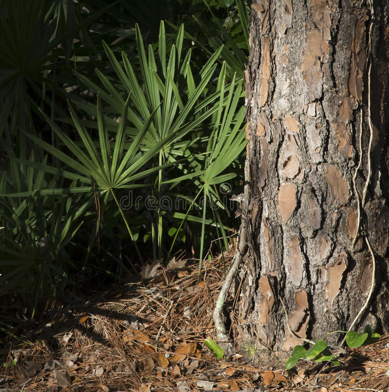 Slutet upp av en sörjaträdstam och fanen gömma i handflatan det gröna bladet i en skog arkivbilder