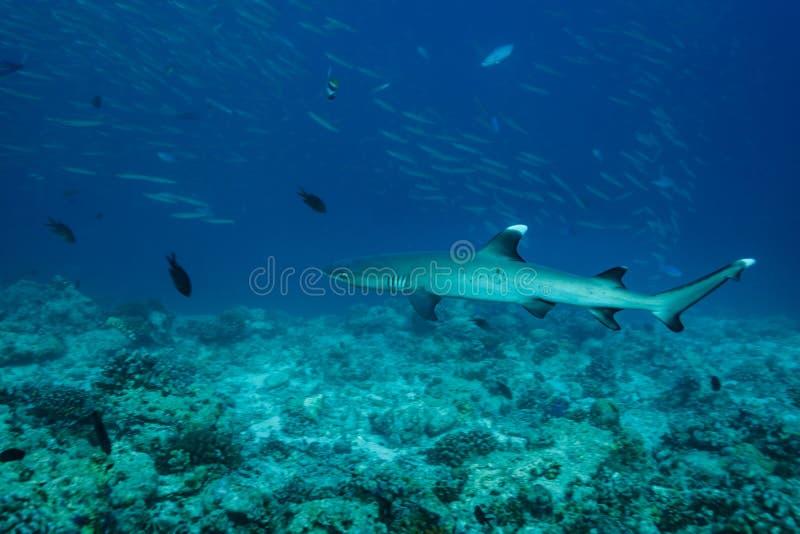Slutet upp av en vit spetsrevhaj, Triaenodonobesus, simmar ovanför korallreven royaltyfria bilder
