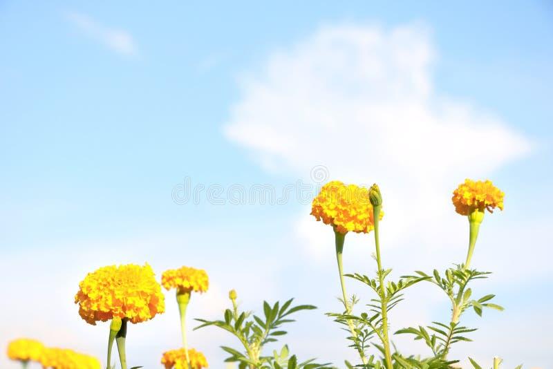 Slutet upp den gula ringblommablomman på bakgrund för blå himmel ser nytt och har kopieringsutrymme royaltyfria bilder