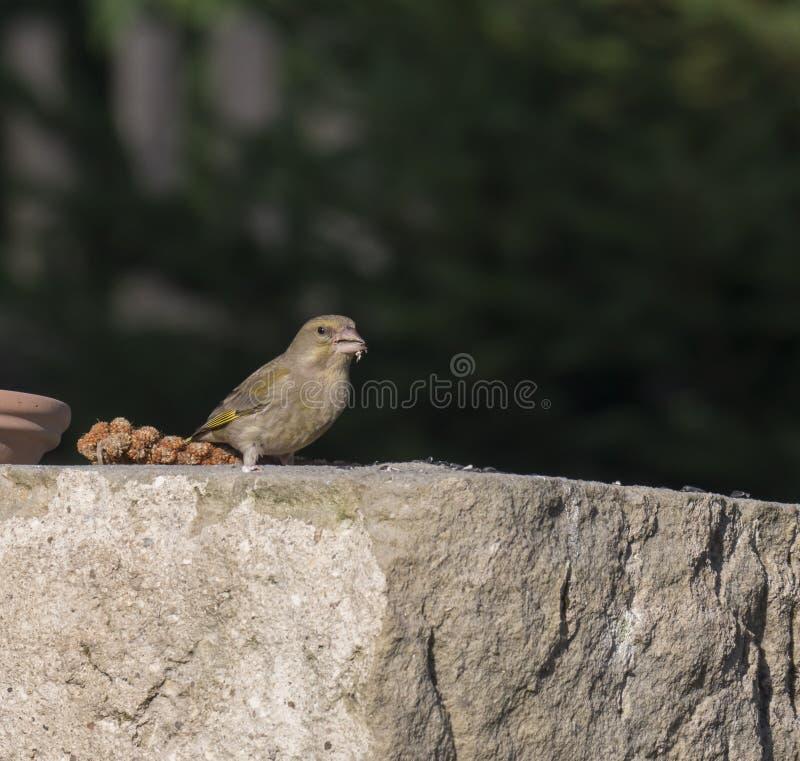 Slutet upp den manliga europeiska greenfinchChlorischlorisen sitter på sandstenväggen och och äta solrosfrö chloris fotografering för bildbyråer