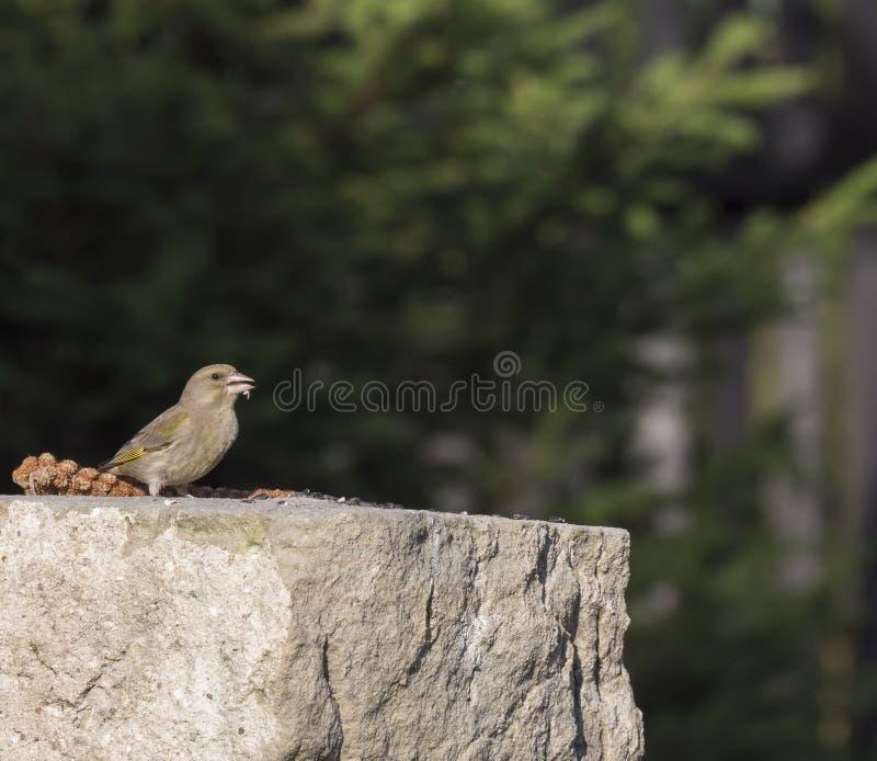 Slutet upp den manliga europeiska greenfinchChlorischlorisen sitter på sandstenväggen och och äta solrosfrö chloris arkivfoto