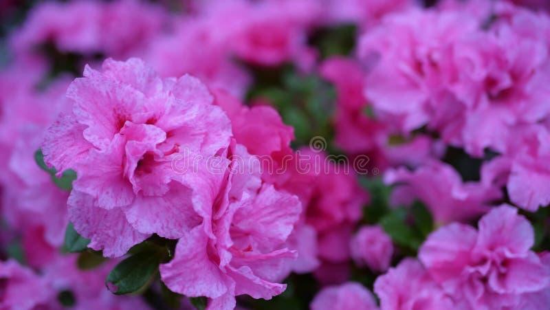 Slutet upp härliga rosa färger blommar i trädgården royaltyfria bilder