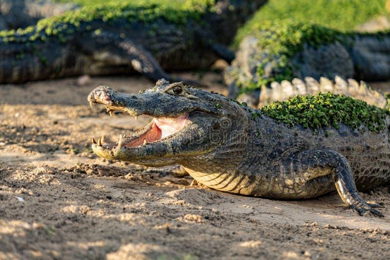 Slutet upp krokodil med ett toothy grinar arkivfoto