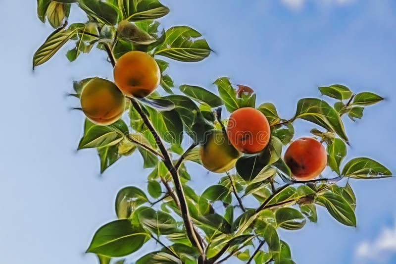 slutet upp ny persimon bär frukt på trädfilialer arkivbilder
