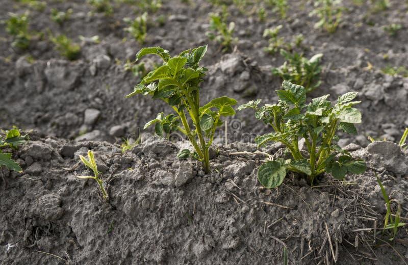 Slutet upp på en växt av potatisen på ett grönt fält av potatisen kantjusterar i rad Jordbruk växa Organisk naturprodukt royaltyfri foto