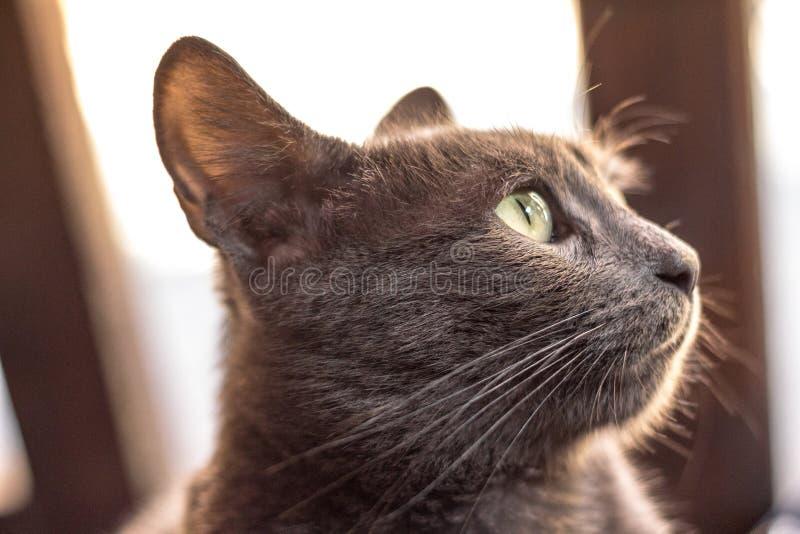 Slutet upp på profilen av huvudet av för blåa grå färger för vilsekommet djur en brittisk eller för ryss grå färg för katt, utfor royaltyfri foto