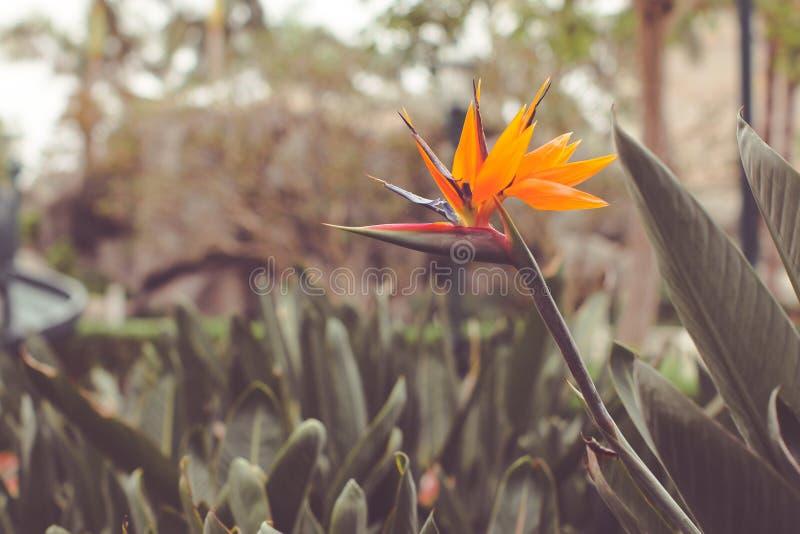 Slutet upp på reginae för en Strelitzia blommar den gemensamt kallade blomman eller enkelt strelitzia för kran arkivbilder