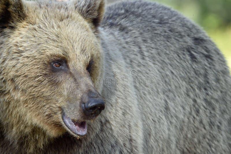 Slutet upp ståenden av den lösa vuxna brunbjörnen royaltyfri foto
