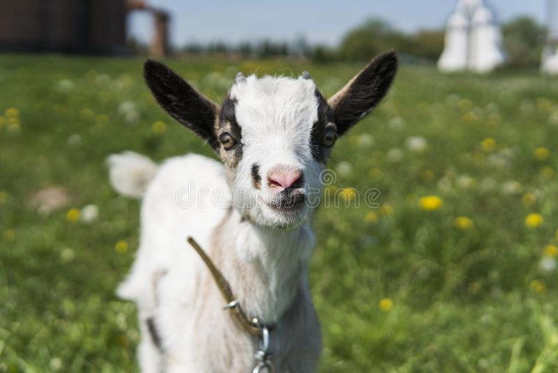 Slutet upp svartvitt behandla som ett barn geten på en kedja mot gräsblommor som bygger på en bakgrund Den vita löjliga ungen är arkivbild