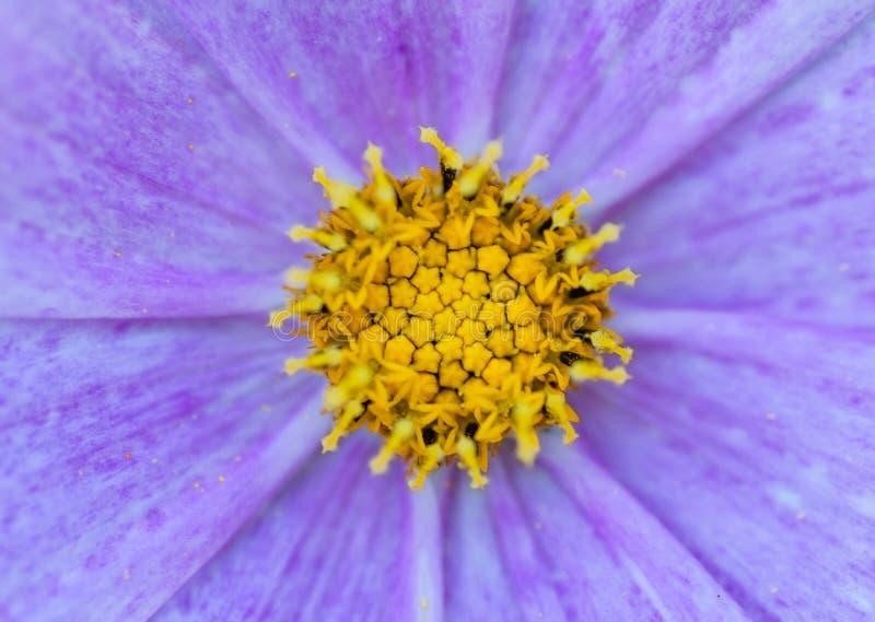 Slutet upp violet blommar bakgrund royaltyfri bild