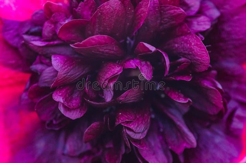Slutet upp violet blommar bakgrund arkivfoton
