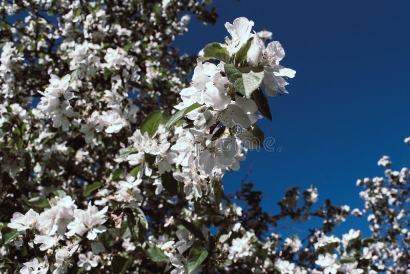 Slutet upp vita blommor för äppleblomningen och blå himmel fjädrar backgro arkivfoto