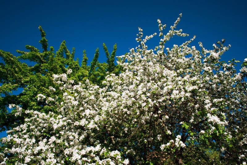 Slutet upp vita blommor för äppleblomningen och blå himmel fjädrar backgro arkivbild