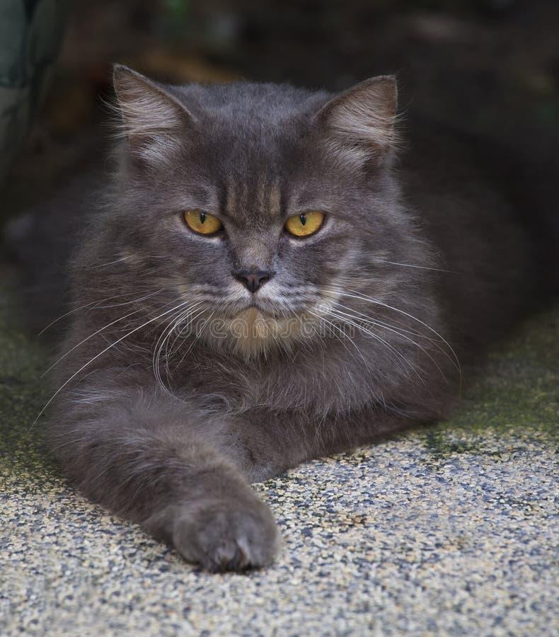 Slutet vänder mot upp av den persia katten arkivfoto
