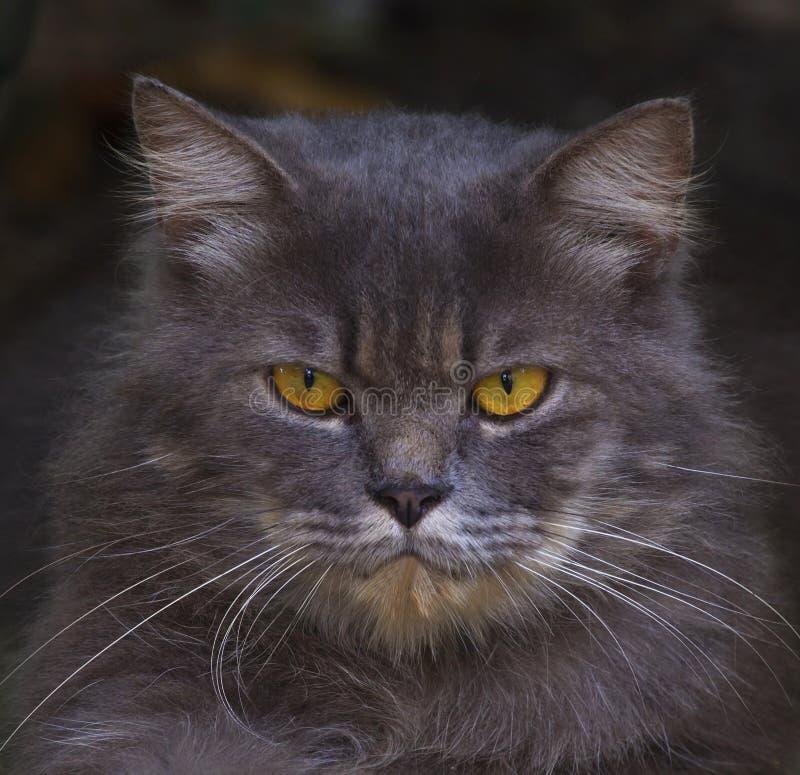 Slutet vänder mot upp av den persia katten royaltyfri bild