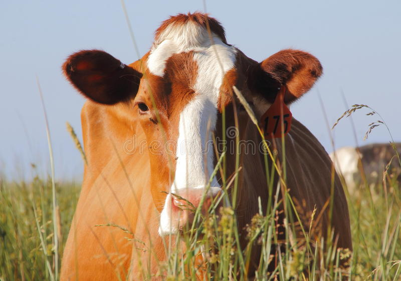 SlutFrontal av den Holstein mejerikon arkivbild