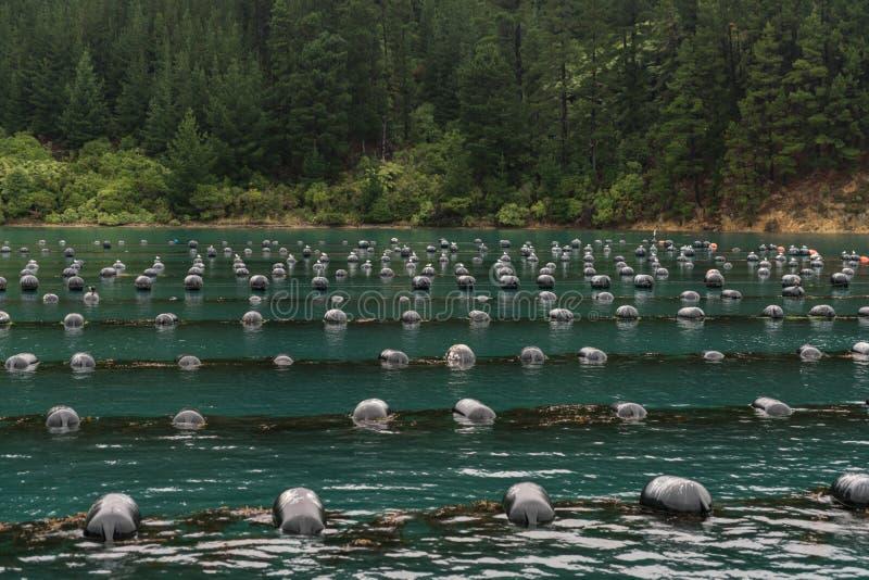 Slutskott av floaters av lantgården för Hitaua fjärdmussla, Picton arkivfoton