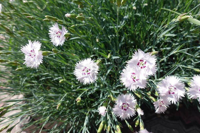 Slutskott av rosa blommor av dianthusen royaltyfri fotografi