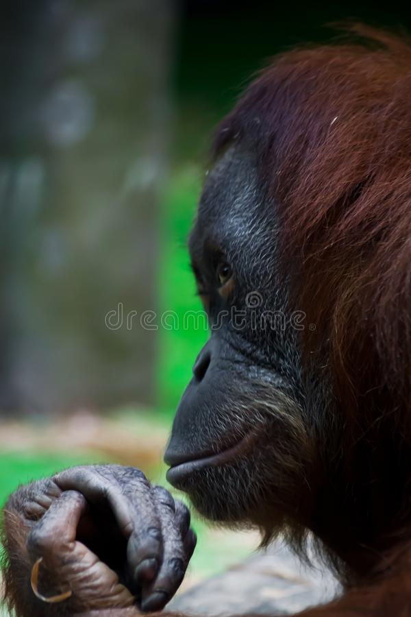 Sly monkey orangutan hiding something in a fist like a magician stock image
