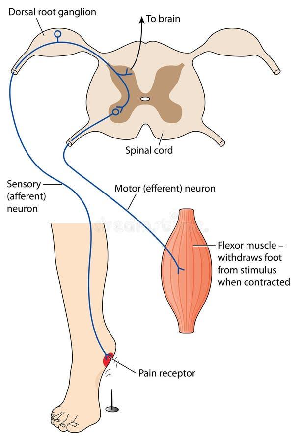 Smärta reflexet vektor illustrationer