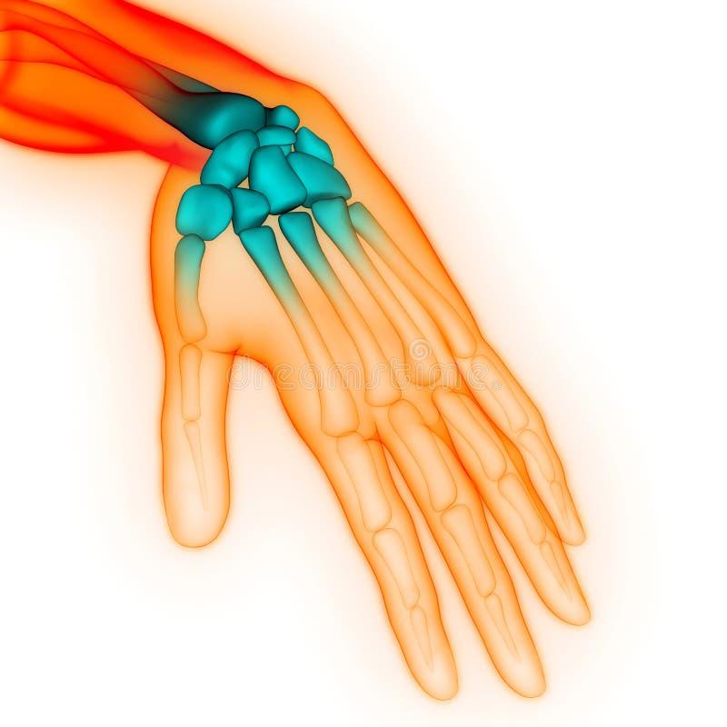 Smärtar skarvar för ben för hand för skelett- system för människokropp anatomi royaltyfri illustrationer