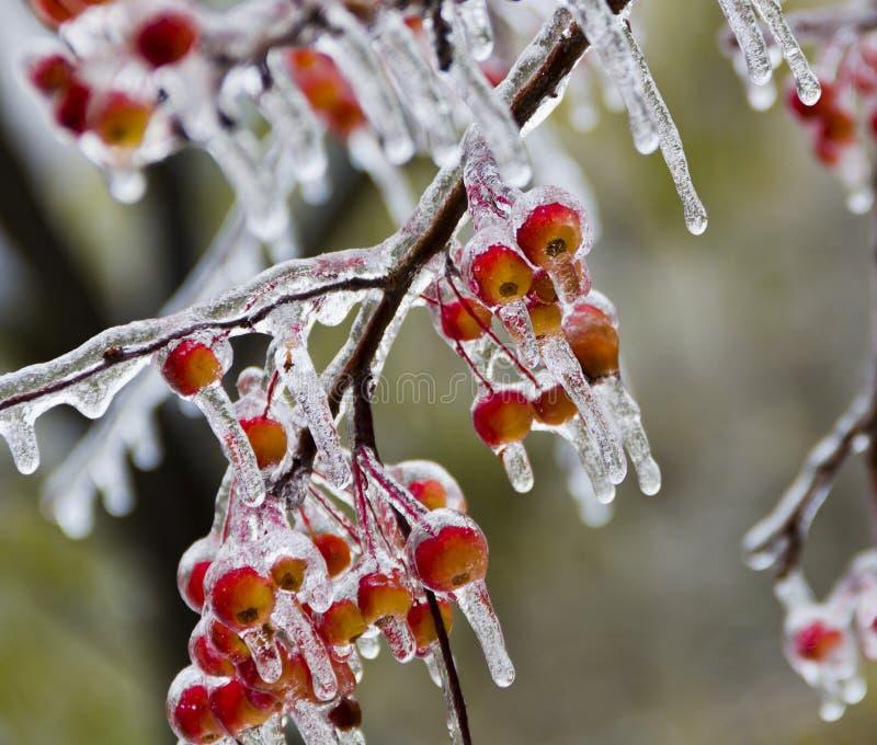 Små äpplen som täckas i is, istappar efter det frysa regnet arkivfoton